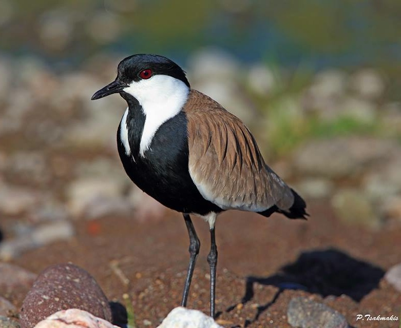 Spur-winged Plover March 14